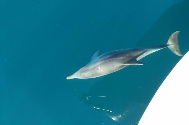 Flipix le dauphin qui s'amuse sur la côte de marseille à porquerolles